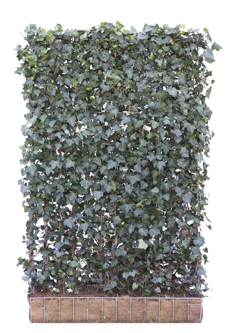 Mobilane Fertighecke Efeu 180 X 120 Cm Www Garten Bronder