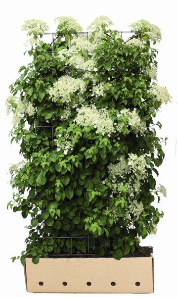 kletter hortensie premium fertighecke h he 180 cm. Black Bedroom Furniture Sets. Home Design Ideas